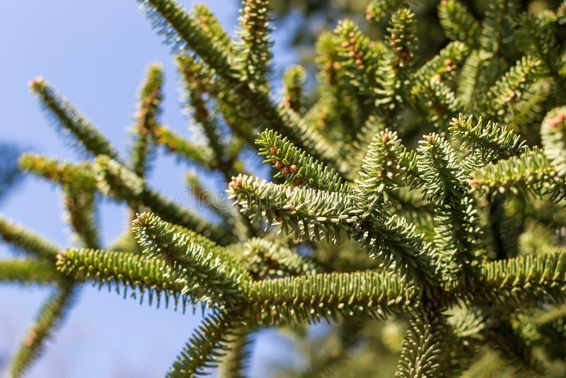 Wiecznozielony cisowy drzewo z małym round kolorem żółtym kwitnie pod światłem słonecznym przeciw niebieskiemu niebu zdjęcie stock