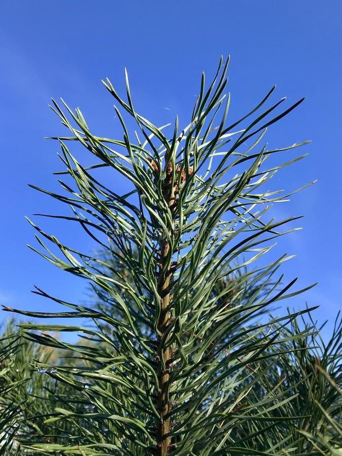 Wiecznozielony drzewo i niebieskie niebo obraz royalty free