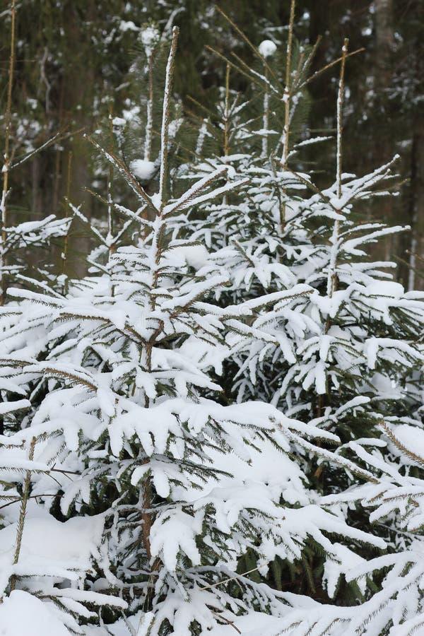 Wiecznozielony drzewo jedlina zdjęcie royalty free