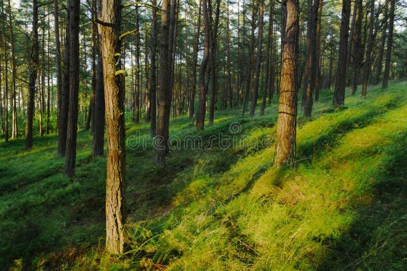 Wiecznozielony iglasty sosnowy lasowy Pinewood z Scots lub Szkockiej sosny Pinus sylvestris drzewami fotografia royalty free