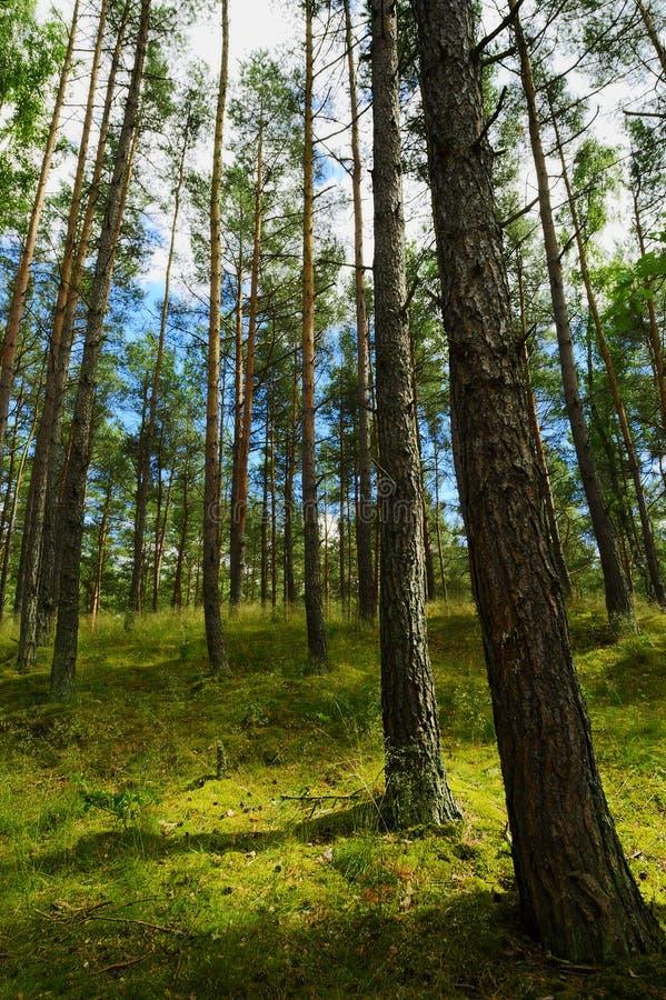 Wiecznozielony iglasty sosnowy lasowy Pinewood z Scots lub Szkockiej sosny Pinus sylvestris drzewami zdjęcia royalty free