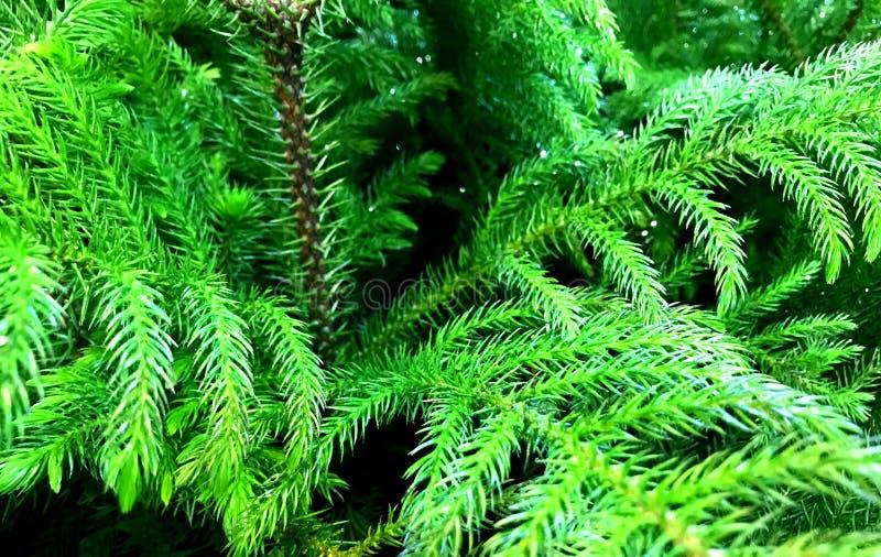 Wiecznozielony, Jedlinowy drzewo Mały, Ornamentacyjny, fotografia stock
