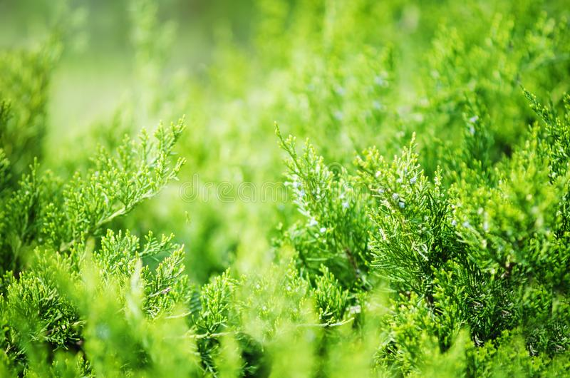 Wiecznozielony Porcelanowy ja?owcowy Juniperus davurica Expansa Variegata Fotografia krzak iglasty drzewo w ?wietle s?onecznym za fotografia royalty free