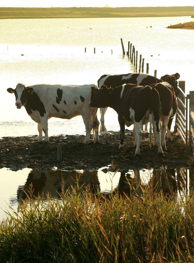 wieczorem krowy słońce zdjęcie royalty free