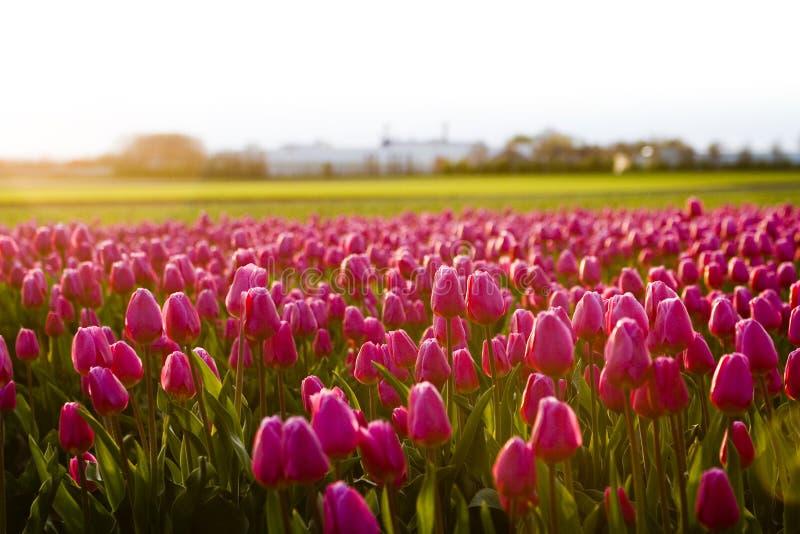 wieczorem kwiaty zdjęcie royalty free