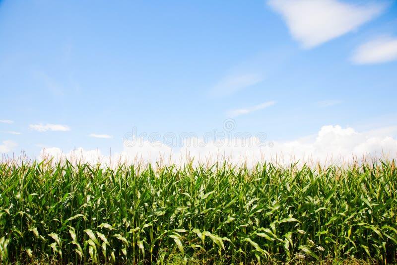 wieczorem pola kukurydzy tła hill zdjęcie stock