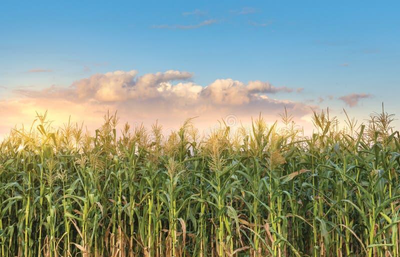 wieczorem pola kukurydzy tła hill zdjęcia royalty free