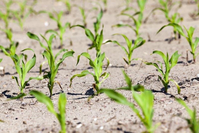 wieczorem pola kukurydzy tła hill Zakończenie fotografia stock