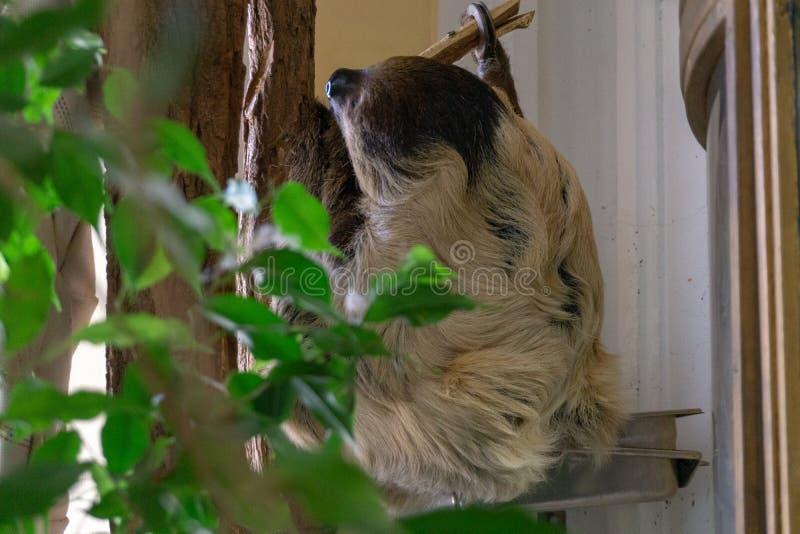 Wiedeń, Austria - 25 2019 Luty: Opieszałość lazily wiesza na drzewie przy Wiedeń Schonbruun zoo obrazy royalty free