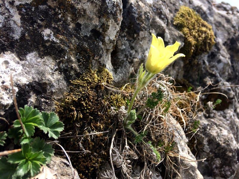 wiederbelebung Das gelbe wilde Blumen-Wachsen in einem Felsen knacken lizenzfreie stockbilder