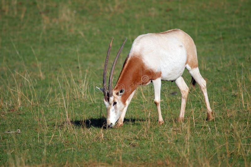 Download Wiederkäuer stockbild. Bild von bovine, gras, säugetier - 12201073