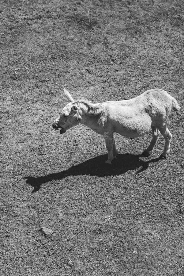 Wiehernder Esel lizenzfreies stockfoto