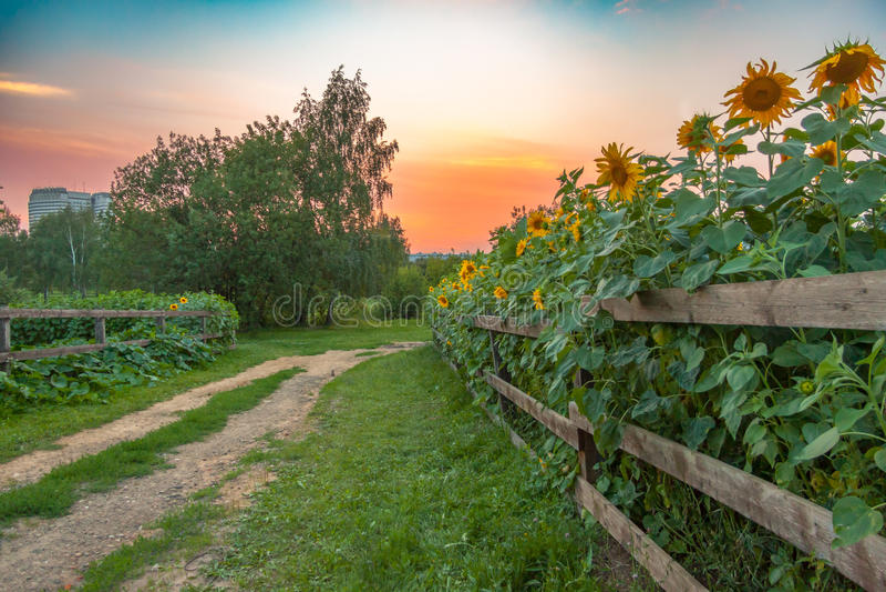 Wiejska droga i słonecznika pole w Kolomenskoye parku zdjęcie royalty free