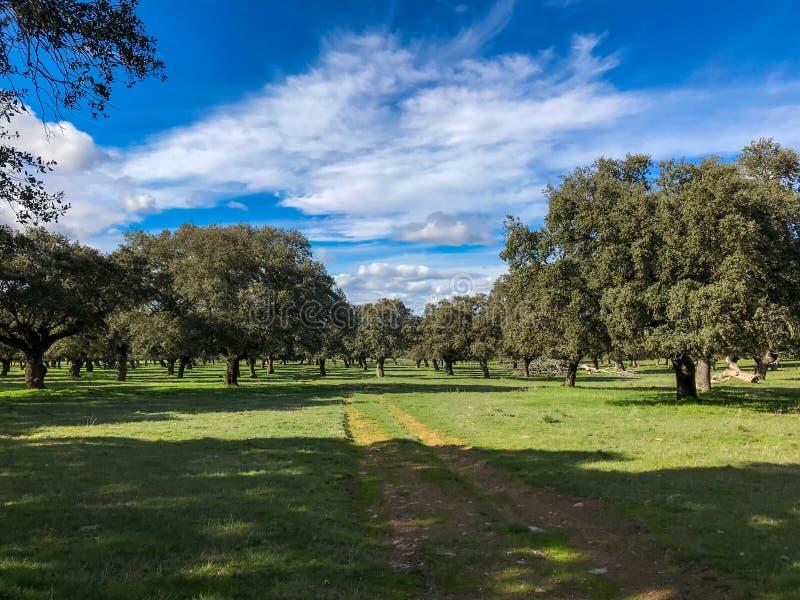 Wiejska droga przemian przez paśnika z holm dębami, niebieskie niebo i chmury w Hiszpania zdjęcie stock