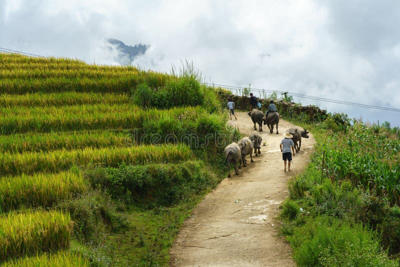 Wiejska droga z wodnymi bizonami wśród tarasowego ryżu pola w północnym wietnamu obrazy royalty free