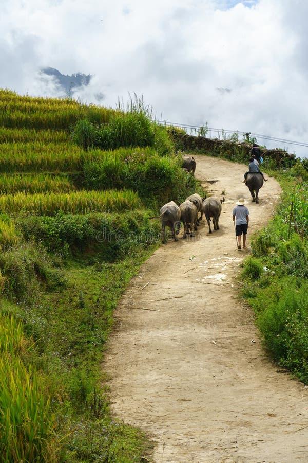 Wiejska droga z wodnymi bizonami wśród tarasowego ryżu pola w północnym wietnamu zdjęcie royalty free