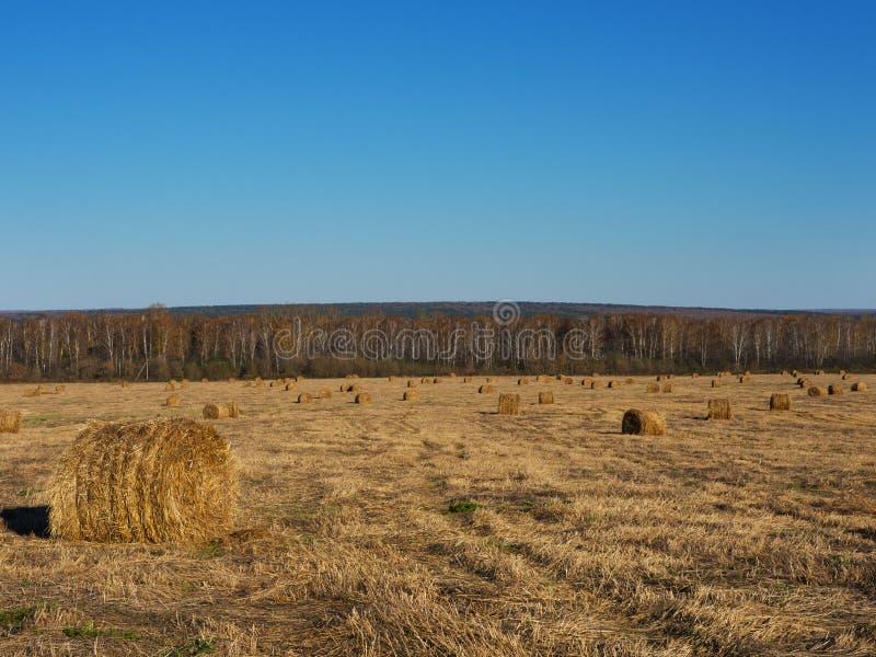Wiejska krajobrazu pola łąka Z siano belami Po żniwa W Pogodnym wieczór Przy zmierzchem Lub wschodu słońca W późnym lecie fotografia stock