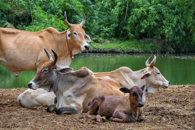 Wiejska krowy gospodarstwa rolnego centrala Tajlandia zdjęcia royalty free