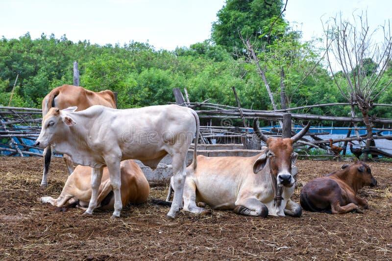 Wiejska krowy gospodarstwa rolnego centrala Tajlandia obraz royalty free