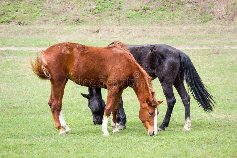Wiejski krajobraz - dwa pastwiskowego konia, dokuczającego insektami obrazy stock