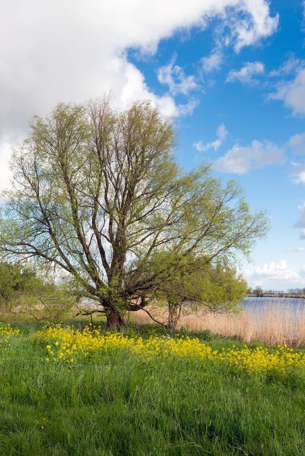 Wiejski krajobraz z świeżym zielonym okulizowania drzewem obrazy royalty free