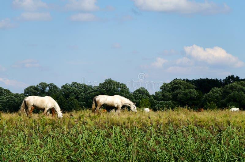 Wiejski krajobraz z koniami pasa w łące obraz royalty free