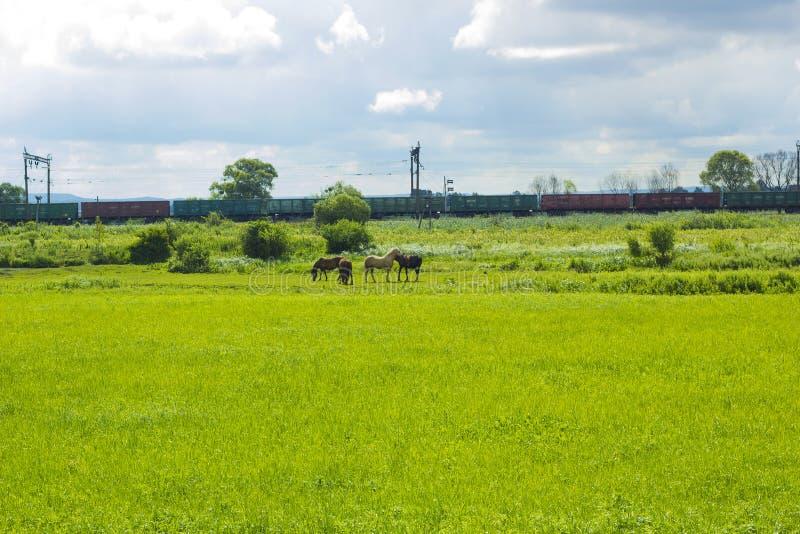Wiejski krajobraz z stadem konie pasa w zieleni polu zdjęcia stock