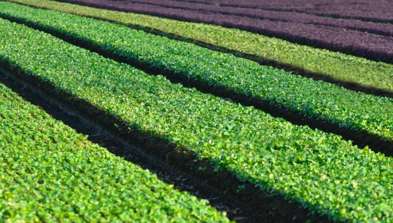 Wiejski pole z zielonymi rzędami obraz royalty free