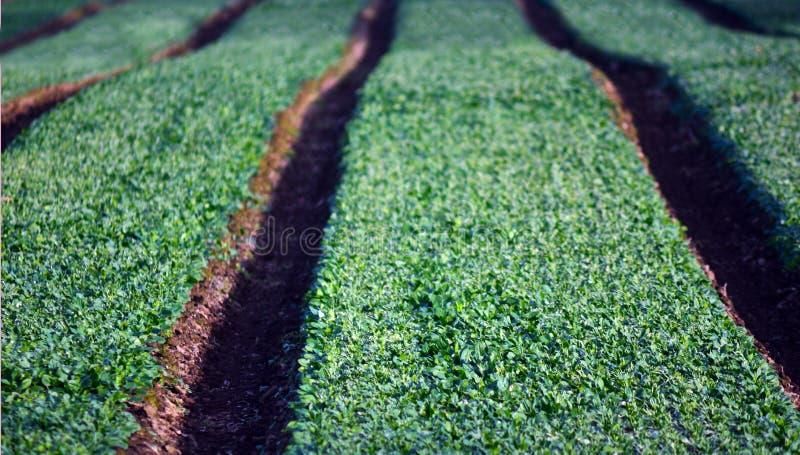Wiejski pole z zielonymi rzędami zdjęcia stock