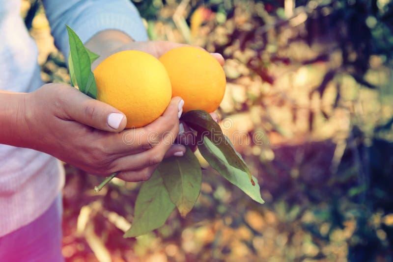 Wiejski wizerunek kobieta podnosi pomarańcze w cytrus plantaci Rocznik filtrująca fotografia obraz stock