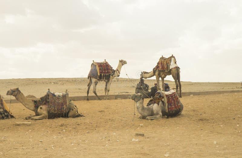 wielbłądów Egypt ostrosłup zdjęcia royalty free