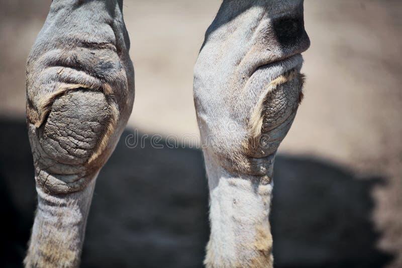 wielbłądów stóp na kolana zdjęcie royalty free