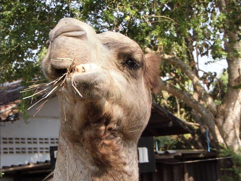 Wielbłąd śmieszny zdjęcie stock
