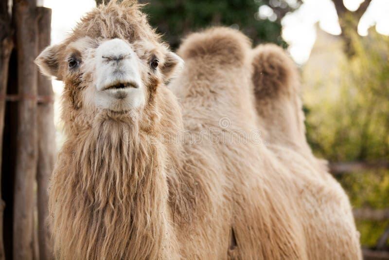 Wielbłąd zdjęcie stock