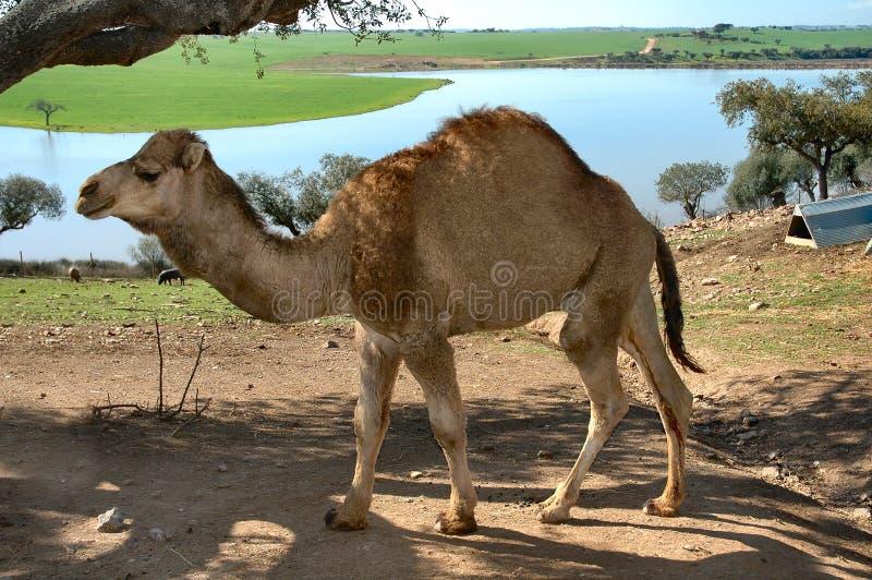 wielbłąd obraz stock