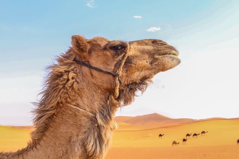 Wielbłąd głowa w szerokiej pustyni zdjęcie royalty free