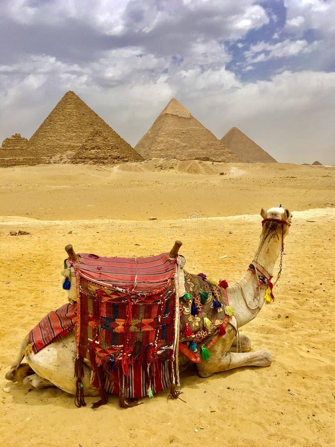 Wielbłąd i ostrosłupy Egipt obrazy royalty free