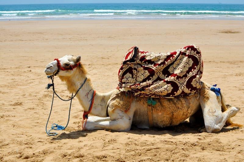 Wielbłąd na plaży obraz stock