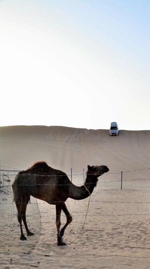 Wielbłąd na tle diuna, Dubaj zdjęcia stock