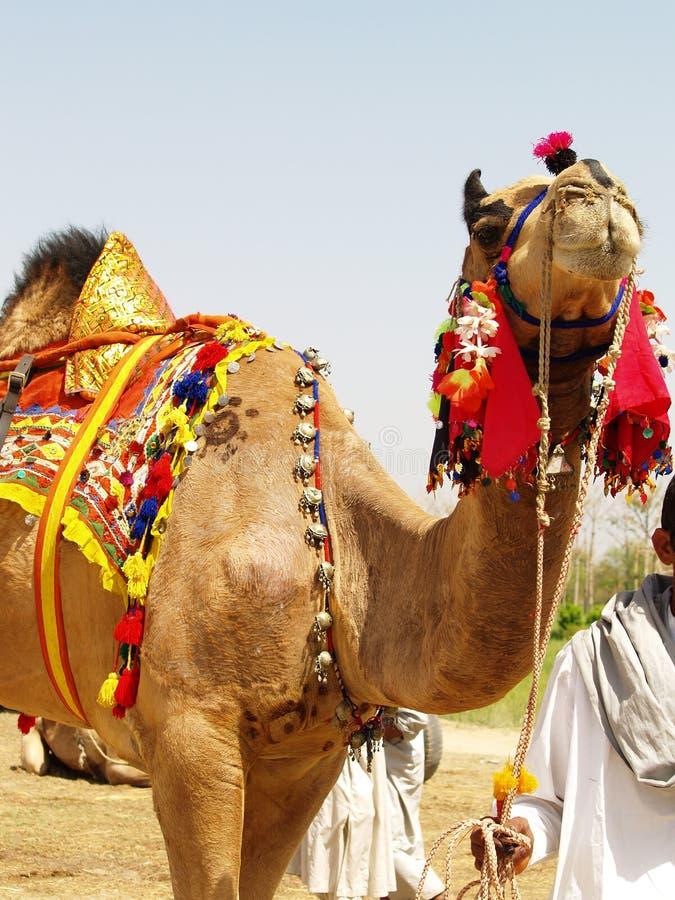 wielbłąd odznaczony zdjęcie stock