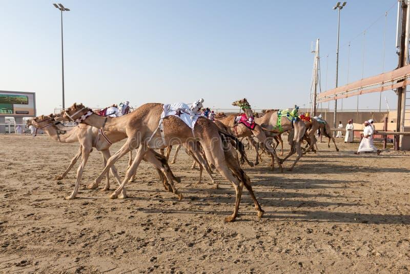 Wielbłąd rasa w Doha, Katar obraz stock