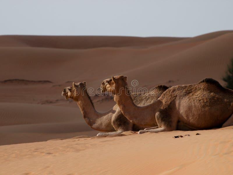 Wielbłąd statki pustynia obrazy stock