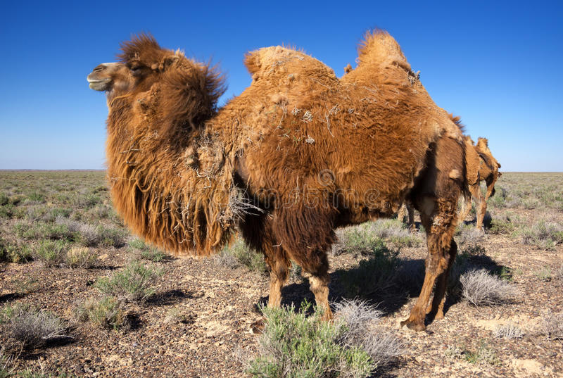 Wielbłąd w pustyni Kazachstan zdjęcia stock