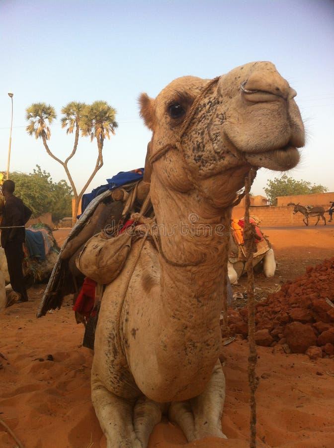 Wielbłąd w pustyni w Niamey, Niger zdjęcie royalty free