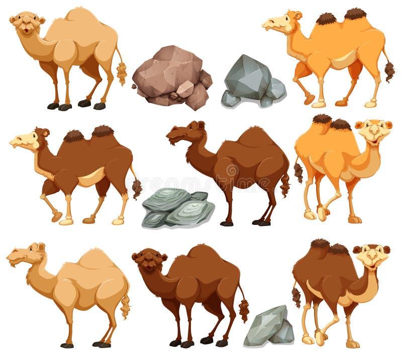 Wielbłąd w różnych pozach ilustracja wektor