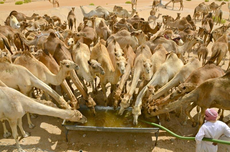 Wielbłąd wody przerwa zdjęcia royalty free