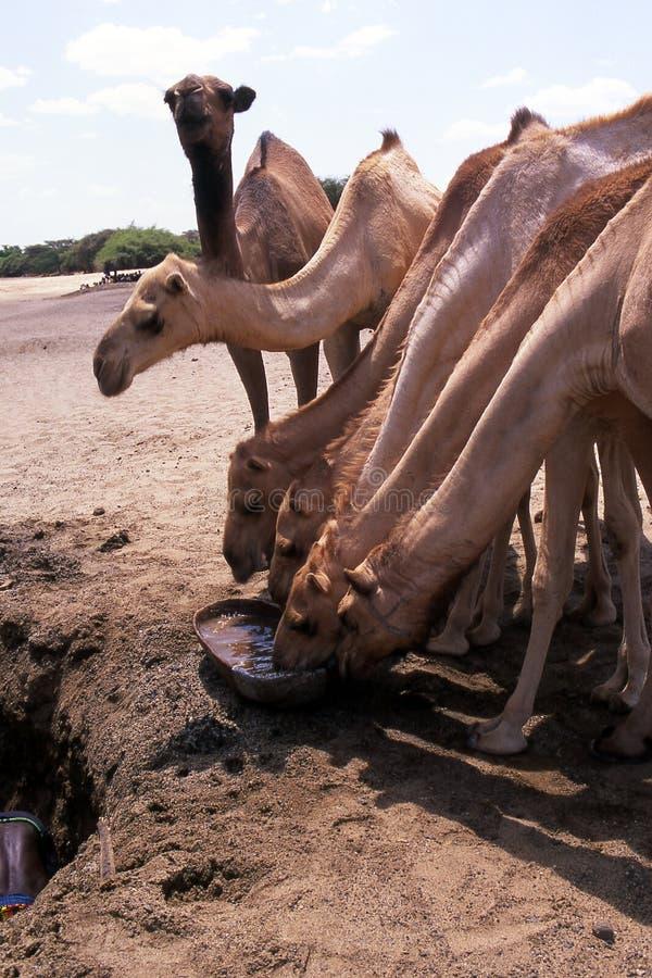 wielbłąda źródeł wody obraz royalty free