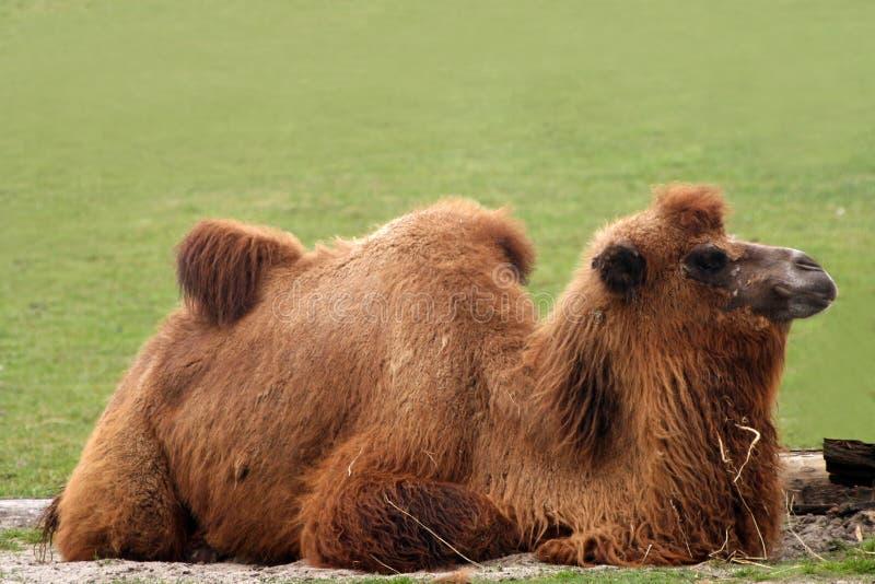 wielbłąda bactrianus camelus obraz stock