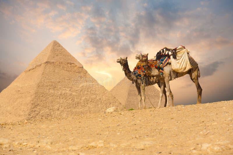 wielbłąda dwoiści Giza ostrosłupy zdjęcia royalty free