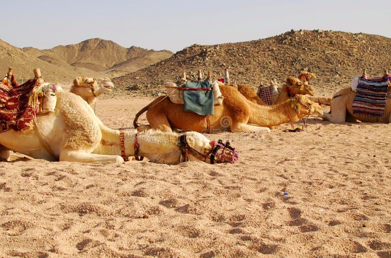 Download Wielbłądy zdjęcie stock. Obraz złożonej z suchy, safari - 13337850